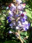 flor e fruto de lavanda