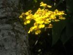 mini orquídea em tronco de flamboiant