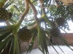 Vacuã, coqueiro do Havaí ou Caralheira