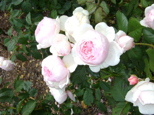 Rosas em botão