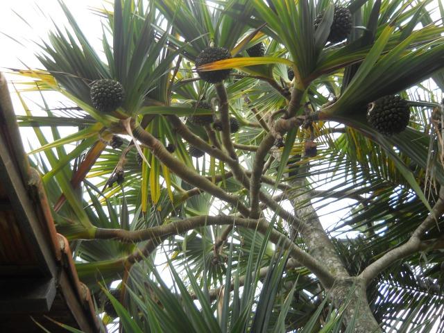 Vacuã - uma das árvores mais aontigas do planeta